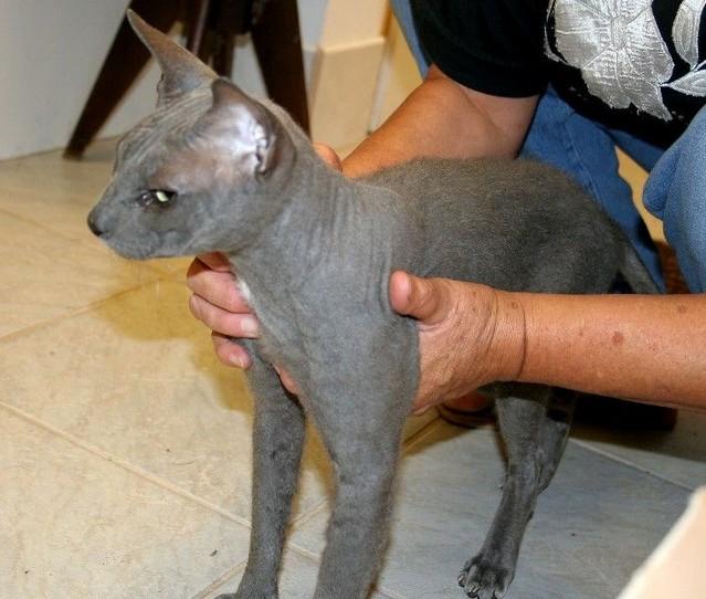 В Чехии найден донской сфинкс, голубого окраса, браш, чипирован.